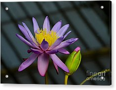 Violet And Yellow Water Lily Flower With Unopened Bud Acrylic Print