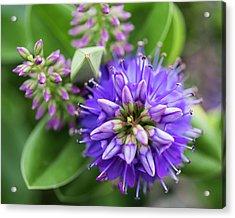 Violet Burst Acrylic Print