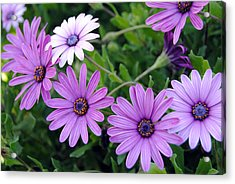 The African Daisy Flowers Acrylic Print