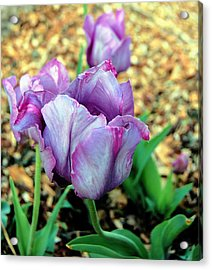 Violet Tulips Acrylic Print by Jame Hayes