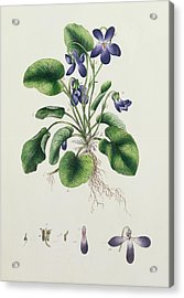 Violets Acrylic Print by English School