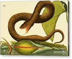 Viper Fusca Acrylic Print by Mark Catesby