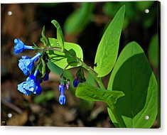 Virginia Bluebells Acrylic Print
