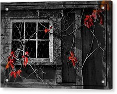 Virginia Creeper Acrylic Print by Thomas Schoeller