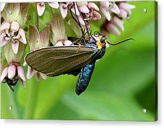 Virginia Ctenucha Moth Acrylic Print