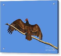 Acrylic Print featuring the photograph Vivid Vulture .png by Al Powell Photography USA