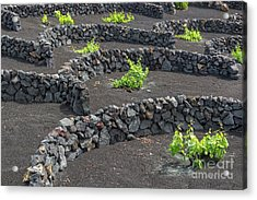 Volcanic Vineyards Acrylic Print by Delphimages Photo Creations