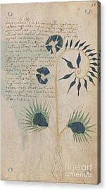 Voynich Flora 12 Acrylic Print
