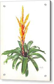 Vriesea 'dreamcicle Orange' Acrylic Print