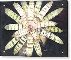Vriesea 'white Lightning' Acrylic Print