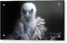 Acrylic Print featuring the photograph Vulture 2 by Christine Sponchia