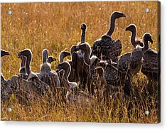 Vultures Acrylic Print by Paco Feria