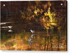 Wading In Light Acrylic Print