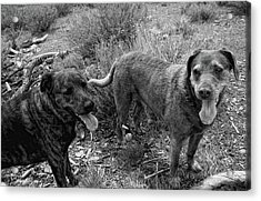 Wagging Tongues Acrylic Print by Donna Blackhall