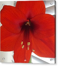 Waited 8 Weeks For My Giant Amaryllis Acrylic Print by Dante Harker