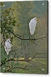 Waiting Egrets Acrylic Print