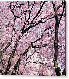 Walking Beneath Giant Cherry Blossom Acrylic Print