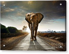 Walking Elephant Acrylic Print