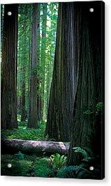Walking In The Redwoods Acrylic Print by Jonathan Hansen