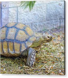 Acrylic Print featuring the photograph Walking Turtle by Raphael Lopez
