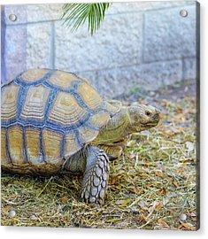 Walking Turtle Acrylic Print