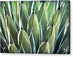 Acrylic Print featuring the photograph Wall Of Agave  by Saija Lehtonen