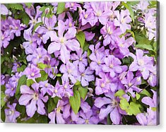 Wall Of Pink Clematis Blooms - Digitally Enhanced Acrylic Print