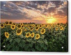 Wall Of Sunflowers Acrylic Print