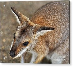 Wallaby Portrait Acrylic Print by Kaye Menner