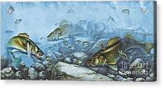 Walleye Reef Acrylic Print by JQ Licensing