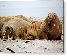Walrus Family Acrylic Print by Happy Home Artistry