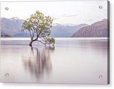 Wanaka Tree Acrylic Print by Racheal Christian