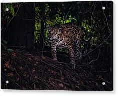 Acrylic Print featuring the photograph Wandering Jaguar by Wade Aiken