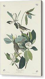 Warbling Flycatcher Acrylic Print
