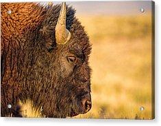 Warm Bison Acrylic Print