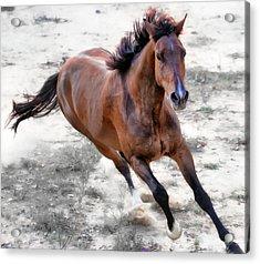 Warmblood Horse Galloping Acrylic Print by Vanessa Mylett