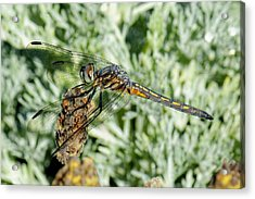 Warming-up - Darner Dragonfly Acrylic Print