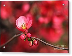 Warmth Of Flowering Quince Acrylic Print