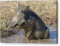 Acrylic Print featuring the photograph Warthog Taking Mud Bath by Riana Van Staden