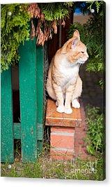 Wary Stray Waif Cat Sitting Acrylic Print by Arletta Cwalina