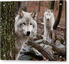 Wary Wolves Acrylic Print