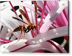 Wasp On Flower Acrylic Print by Francesco Roncone