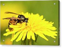 Wasp On Flower Acrylic Print by Jouko Mikkola