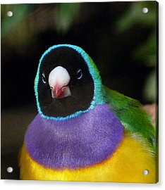 Watchful Gouldian Finch Acrylic Print by Margaret Saheed
