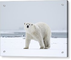 Watchful In The Arctic Acrylic Print
