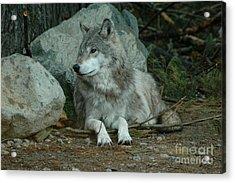 Watchful Wolf Acrylic Print
