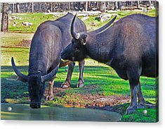 Watching 2 Water Buffalos 1 Water Buffalo Watching Me Acrylic Print