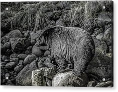 Watching Black Bear Acrylic Print