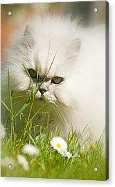 Watching Daisies Acrylic Print