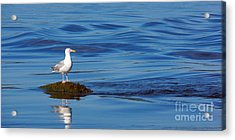 Watching Seagull Acrylic Print by Lutz Baar